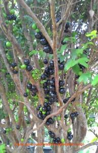 Anggur pohon yang sedang berbuah