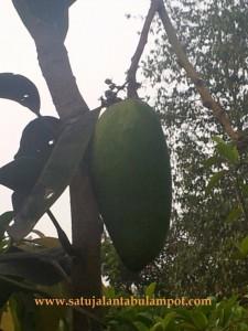 Kio Jay di pohon