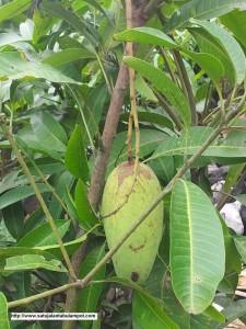 Mangga Chouk Anan