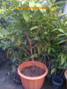 Pohon Kesuma Merah (Red Kesuma)