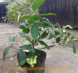 Pohon Jambu Madu Deli