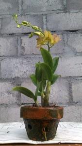 Dendrobium 4