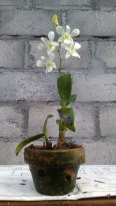 Dendrobium 3
