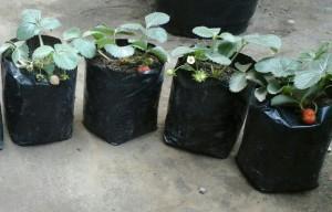 Strawberry rajin berbuah yang saling bersusulan tiap 7 sd 10 hari akan timbul bunga baru lagi, InsyaAllah