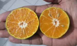 Biji sedikit dengan warna buah orange menarik.