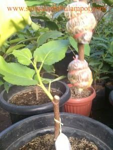 Potong pohon Tin yg sdh keluar akarnya banyak dan siap ditanam. Pemotongan yg baik di sore hari agar cuaca tidak panas utk menghindari penguapan yg berlebih.