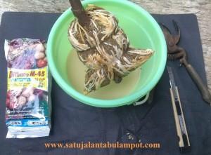 Sebelum ditanam, rendam cangkokan dg anti jamur Dithane M-45 utk menghindari jamur tumbuh saat masa-masa kritis turun cangkok.