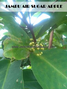 Sugar Apple 3